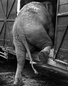 Circus Elephant | very very sad photograph | vintage black & white photography | prison | home | www.republicofyou.com.au