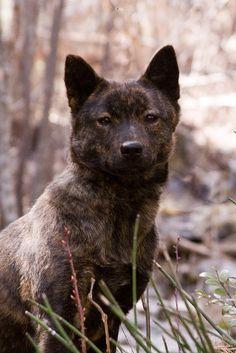 Kai Ken http://www.akc.org/breeds/kai_ken/index.cfm