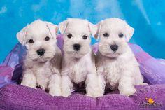 three little white miniature schnauzer puppies by Kirikina.deviantart.com on @deviantART