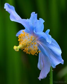 ~~Profile ~ Himalayan Blue Poppy by Whitto27~~