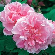 Cottage Rose - David Austin; medium pink, double full bloom, medium shrub, hardy, old rose fragrance of almond and lilac, excellent repeat, bushy upright shrub, 95+ petals. 4ft x 3ft