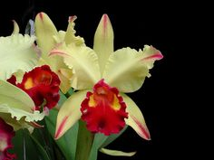 )Rhyncholaeliocattleya Dora Louise Capen 'Lea' AM/AOS (Cattleya Moscombe x Rhyncholaeliocattleya Toshie Aoki) This grex bred and then registered by Richard M Capen in 1992. Photo © G L Cauble.