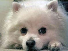 miniature american eskimo pup