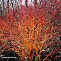A glorious blaze of Winter Colour in the Garden ~ Dogwood Shrubs (ourfairfieldhomeandgarden)