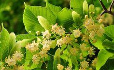 Lindenblüten, Hustentee, schweißtreibend, Kräuterapotheke