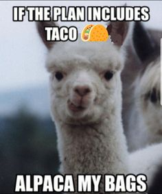llamas and alpacas get me everytime. Alpacas, Funny Shit, The Funny, Funny Humor, Funny Stuff, Funny Animal Pictures, Funny Animals, Hilarious Pictures, Road Trip Meme
