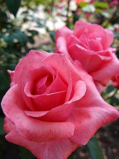 ~'Carlita'   Hybrid Tea rose, @ T. Kiya