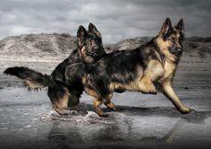 german shepherds by Phil377, via Flickr