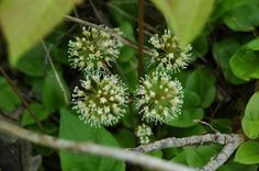trifolium plant images - Google Search
