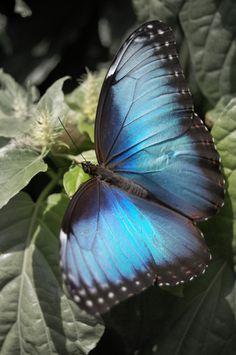 Blue Morpho Butterfly by faerienoodles on deviantART