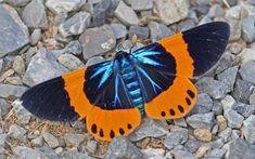 Milionia basalis pyrozona (moth). Photo: Jerry Oldenettel, Thailand.