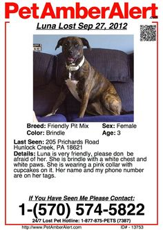 LUNA~Lost Dog 3 yrold FRIENDLY PIT BULL IN HUNLOCK CREEK, PA.  CALL: 570 574 5822 if you see her.  Brindle with a white chest & paws. Pink collar with cupcakes on it.  Name & phone number on her tags.  She is very friendly and there's no need to have any fear of her.  PLEASE - IF YOU LIVE IN THE HUNLOCK CREEK AREA, BE ON THE LOOKOUT FOR HER! Probably tired, hungry and thirsty; may be disoriented but sweet.  PLEASE CALL if you see her or can get a leash on her.  THANK YOU!