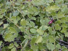 Canavalia pubescens