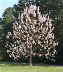 Royal Empress Trees on Fast Growing Trees Nursery