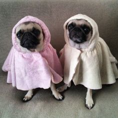 Pugs in what can only be described as the cutest bath robes ever.