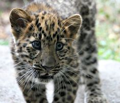 Leopard Cubs. Love their expressive eyes!
