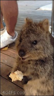 This quokka. | The 24 Most Important Australian Animal Gifs Of All Time