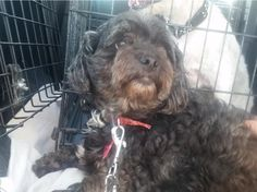 Knight -  Male / Neutered  Innisfil, ON  Shih-Poo / Schnoodle  9 - 10 Years Old / 25 Lbs