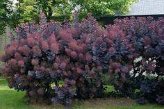 Cotinus-coggygria-'Royal-Purple'