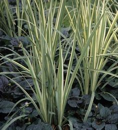 Hakonechloa or japanese forest grass border planting for Ornamental grass plants for shade