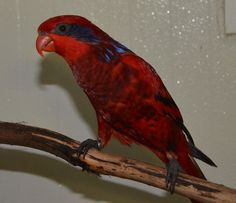blue streaked lory, eos reticulata  photo from Iggino Van Bael