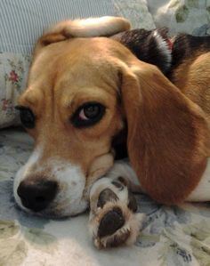 Emma - Beagle Freedom Project. God bless them and the work they do for the beagles.