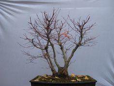 15 - Acer palmatum (11/2008)