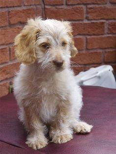 Blonde Roan Cockapoo Puppy