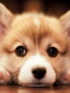 Welsh Corgi Pembroke dog breed description and characteristics Pembroke Welsh Corgi Puppies, Corgi Dog, Cute Corgi Puppy, Pomeranian Puppy, Husky Puppy, Pet Puppy, Cute Puppies, Cute Dogs, Dogs And Puppies