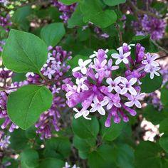 Oh I wish you could smell this lilac - Syringa meyeri 'Palibin'.  via Flickr