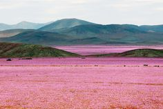 """El Niño Paints the World's Driest Place with Color A mallow field in full bloom in the Atacama region, some 750 kilometers north of Santiago, Chile. The """"desierto florido"""" (desert in bloom) occurs every five to seven years, though this year's is more vibrant than most."""