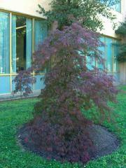 Acer palmatum var. dissectum 'Tamukeyama' - Plant Finder