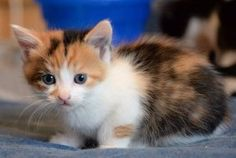 Sage is an adoptable Calico Cat in Ottawa, ON. SAGE: I'm a little Calico girl. I look the most like my mom. We are the named the Spicey2 Family because the winners of a Hungry and Homeless Cat Rescue ...