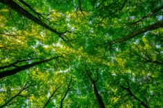 forest - Google Search Greenhouse Gases Effect, Benefits Of Forest, Fred Vargas, Forest Sounds, Sense Of Sight, Tree Saw, Walking Plan, Forest Bathing, Beech Tree