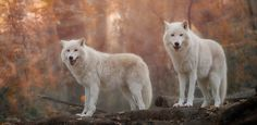 smiling wolves by Sonja Probst - Photo 131494585 - 500px