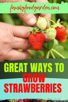 Strawberries are a delicious treat - and unfortunately expensive too. Family Food & Garden shows you several creative ways to grow strawberries. The options include containers, pots, rain gutters, baskets or upside down. For the more ambitious there are vertical gardens, towers or pallet planters. We will show you how to easily increase your strawberry load over time. These tricks will also reduce their exposure to infestation. Learn more… #strawberries #growstrawberries #morestrawberries Growing Strawberries In Containers, Grow Strawberries, Strawberry Planters, Eat Seasonal, Garden Show, Growing Plants, Pallet Planters, Container Gardening, Family Meals