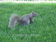 リス / squirrel **from Saint Paul, USA**