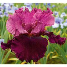 Rougissant...Schreiner's Iris Gardens