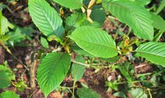 Some Say Kratom Is A Solution To Opioid Addiction. Not If Drug Warriors Ban It…