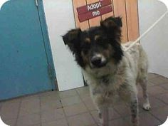 Albuquerque, NM - Australian Shepherd Mix. Meet MISSY, a dog for adoption. http://www.adoptapet.com/pet/15482254-albuquerque-new-mexico-australian-shepherd-mix
