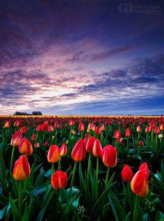 Cuddle - Tulip festival in Woodburn Oregon.