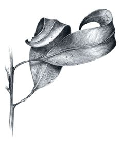 Leaf Drawing, Floral Drawing, Nature Drawing, Painting & Drawing, Cool Art Drawings, Pencil Art Drawings, Art Drawings Sketches, Still Life Sketch, Still Life Drawing