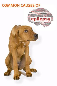 Common causes of epilepsy in dogs and treatment (part 2)