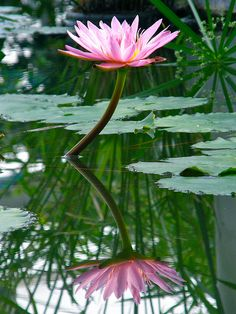 Oh the lotus.... Grows in muddy waters but still so beautiful.