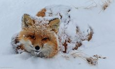 Snow is a great insulator. So is fur— something this red fox certainly must appreciate! This fox was photographed on the The Alaska Pe...