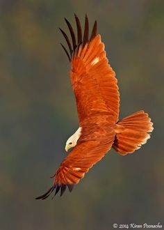 The Brahminy Kite or red-backed sea-eagle is a medium-sized bird of prey in the…
