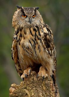 The great horned owl (Bubo virginianus), also known as the tiger owl or the hoot owl, is a large owl native to the Americas. Beautiful Owl, Animals Beautiful, Cute Animals, Owl Photos, Owl Pictures, Great Horned Owl, Wild Creatures, Animal Totems, Cute Owl