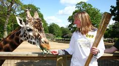 Torchbearer Jane Campbell feeds a giraffe after carrying the Olympic Flame through Knowsley Safari Park on Day 14 of the London 2012 Olympic Torch Relay