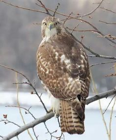 Red Tailed Hawk, Eagles, Bald Eagle, Owl, Birds, Animals, Animales, Eagle, Animaux