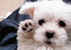 """Tiny white puppy waving """"Hi""""---who can resist???"""